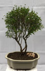 Flowering Chinese White Serissa<br>Bonsai Tree Of A Thousand Stars<br><i>(serissa japonica)</i>