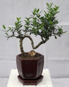 Flowering & Fruiting European Olive Bonsai Tree<br><i>Coiled Trunk Style(olea europaea
