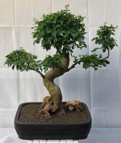 Flowering Ligustrum Bonsai Tree<br>Curved Trunk & Tiered Branching Style<br><i>(ligustrum lucidum)</i>