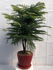 Norfolk Island Pine Bonsai Tree<br><i>(araucaria heterophila)</i><br>