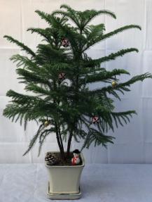 Norfolk Island Pine Bonsai Tree<br>With Holiday Decorations <br><i>(araucaria heterophila)</i><br>