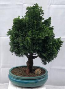 Hinoki Cypress Bonsai Tree<br><i>(chamecyparis obtusa 'Nana Gracilis')</i>