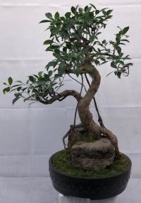 Ficus Retusa Bonsai Tree<br>Root Over Rock<br><i>(ficus retusa)</i>