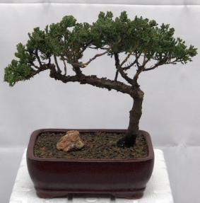 Juniper Bonsai Tree - Trained <br><i>(juniper procumbens nana)</i>