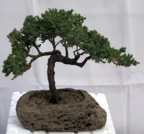 Juniper Bonsai Tree - Trained <br><i><br><i>In Lava Rock(juniper procumbens nana)</i>