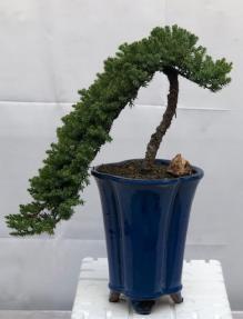 Juniper Bonsai Tree - Cascade Style <br><i>(juniper procumbens nana)</i>