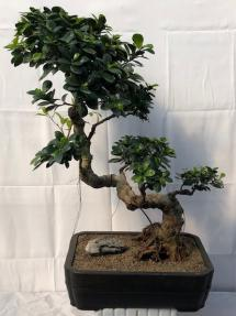 Fruiting Green Emerald Ficus Bonsai Tree<br>Semi Cascade Style <br><i>(ficus microcarpa)</i>