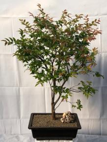 Flowering Jaboticaba Bonsai Tree <br><i>(eugenia cauliflora)</i>