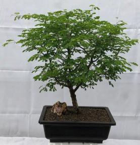 Flowering Brazilian Raintree Bonsai Tree<br><i>(pithecellobium tortum)</i>