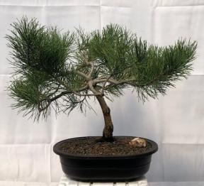Contorted Eastern White Pine Bonsai Tree<br><i>(pinus strobus 'Contorta')</i>