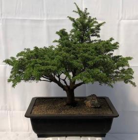 Japanese Hemlock Bonsai Tree<br><i>(Tsuga Sieboldii)</i>