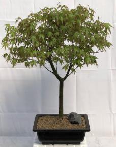 Japanese Green Maple Bonsai Tree<br><i>(acer palmatum)</i>