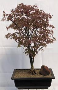 Japanese Red Maple Bonsai Tree<br><i>Exposed Roots<br>(acer palmatum 'Rhode Island Red)</i>
