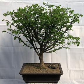 Flowering Burning Bush Bonsai Tree<br><i>(euonymous)</i>