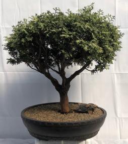Plume Cypress Bonsai Tree<br><i>(chamecyparis pisifera plumosa)</i>