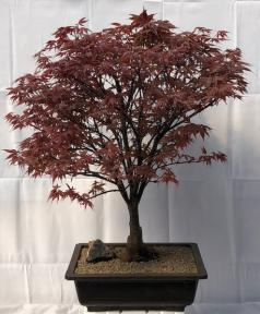 Japanese Red Maple Bonsai Tree<br><i>(acer palmatum 'Rhode Island Red)</i>