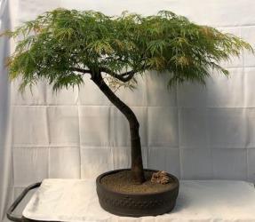 Weeping Japanese Maple Bonsai Tree<br><i>(acer palmatum 'viridis')</i>