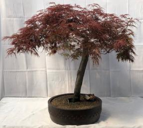Weeping Red Dragon Japanese Maple Bonsai Tree <br><i>(Acer palmatum dissectum 'Red Dragon')</i>