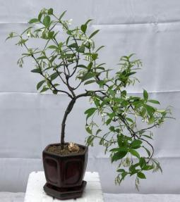 Flowering White Jasmine Bonsai Tree<br> - Cascade Style<br><i>(trachelospermum jasminoides)</i>