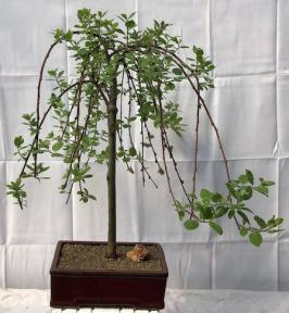 Flowering Weeping Pussy Willow Bonsai Tree<br><i>(salix caprea 'pendula')</i>