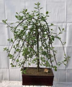 Flowering Weeping Pussy Willow Bonsai Tree<br><i>(salix caprea 'pendula')</i>
