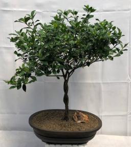 Flowering Gardenia Bonsai Tree <br>Braided Trunk <br><i>(jasminoides miami supreme)</i>