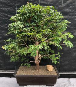 Flowering Jaboticaba Bonsai Tree <br><i>(eugenia cauliflora)</i>