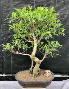 Ficus Retusa Bonsai Tree<br>Curved Trunk & Tiered Branching<br><i>(ficus retusa)</i>