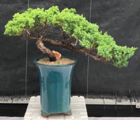 Juniper Bonsai Tree - Trained Semi Cascade <br><i>(juniper procumbens nana)</i>