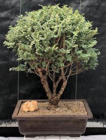 Chinese Seiju Elm Bonsai Tree<br><i>(ulmus parvifolia 'seiju')</i>