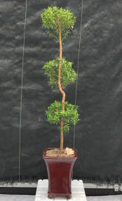 Flowering Myrtle Bonsai Tree <br>Pom Pom Style<br><i>(myrtus communis)</i>
