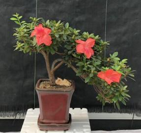 Flowering Tropical Duc De Rohan Azalea Bonsai Tree <br><i>Cascade Style<br><i> (southern indica)</i>
