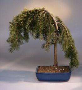 Weeping Douglas Fir Bonsai Tree Pseudotsuga Menziesiiglauca Pendula