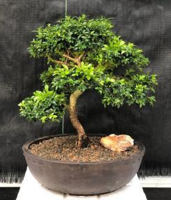 Japanese Kingsville Boxwood Bonsai Tree<br><i>(buxus microphylla compacta)</i>