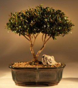 Brush Cherry Bonsai Tree Eugenia Myrtifolia 1