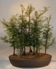 Outdoor Deciduous Bonsai Trees