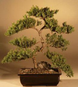 Juniper Karate Kid Bonsai Treejuniper Procumbens Nana