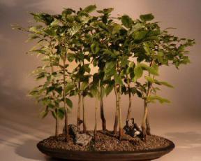 Japanese Beech Bonsai Tree - Forest<br><i>(fagus crenata)</i>