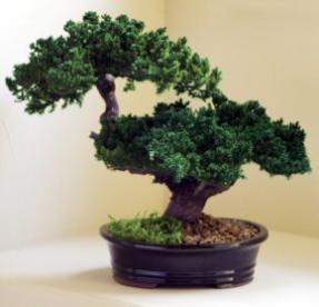 Monterey Juniper Double Trunk Preserved Bonsai Tree <br>(Preserved - Not a Living Tree)