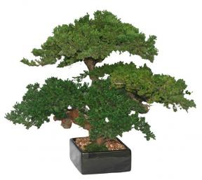 Monterey Juniper Triple Trunk Preserved Bonsai Tree <br>(Preserved - Not a Living Tree)