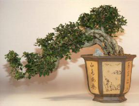 Chinese Elm Bonsai Tree Semi Cascade 21 X10 X16 Ulmus Parvifolia